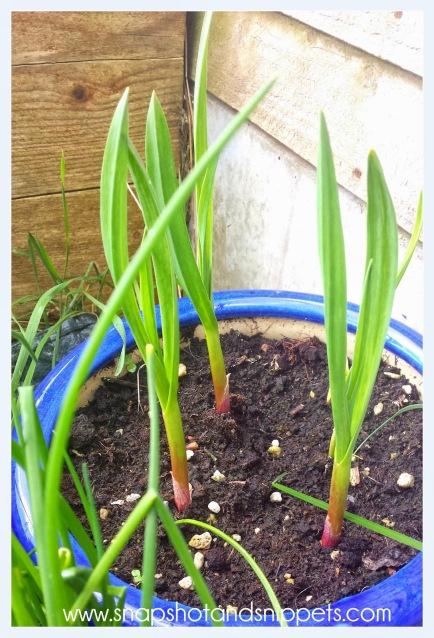 Garlic plants progress