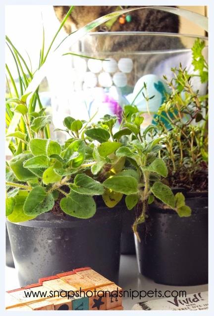 Bargin Herb Plants
