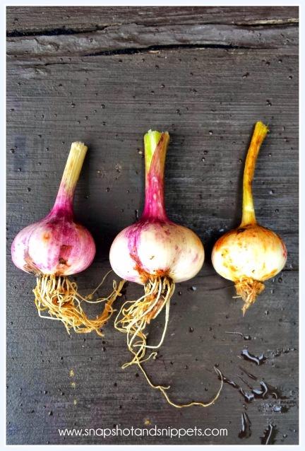 Dried Garlic bulbs